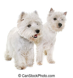 two west highland white terrier