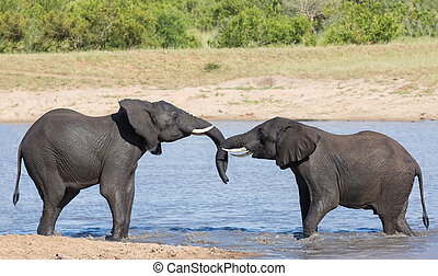 Two wet elephant play in water and greet each other in the...