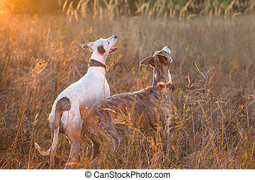 two whippet dog