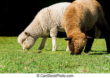 two white and black sheep grazing