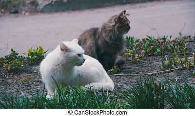 Two White and Gray Homeless Cats on the Street in the Park. Slow Motion