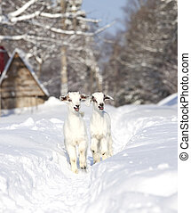 Two white baby goats walking on snow