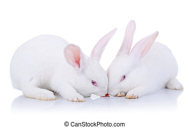 two white bunnies eating a carrot