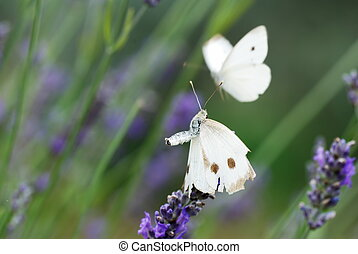 Two white butterflyes on lavender flowers