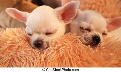 two white Chihuahua puppies sleeping on a blanket. breeding thoroughbred dogs. cute pets.