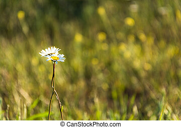 Two white daisies are embracing on a green blurred background