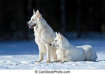 Two white dogs on winter background