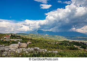 Two white domestic goats rest on old stone wall