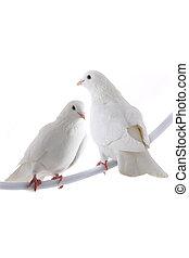 two white dove