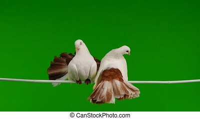 two white dove peacock isolated on a green screen as symbol...