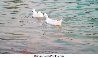 Two white ducks and a drake swimming in a pond, drinking water. Wildlife concept.