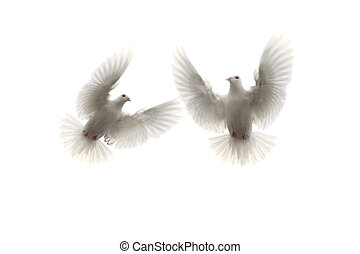 two white feather pigeon flying mid air against white...