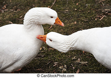 Two white geese on a green lawn
