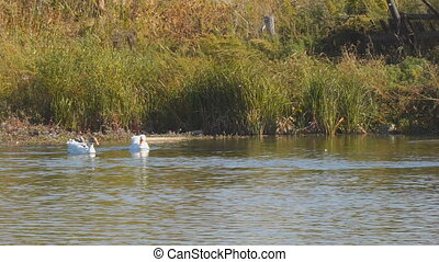 Two white geese swimming on a lake or river
