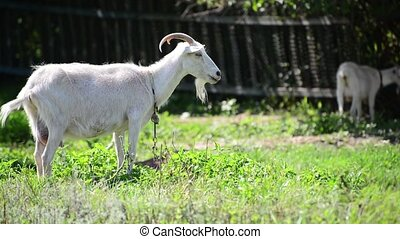 Two white goat in front of a fence in village - Two white...