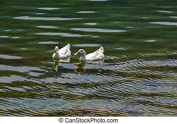 Two white heavy ducks - American Pekin also known as the Aylesbury or Long Island duck