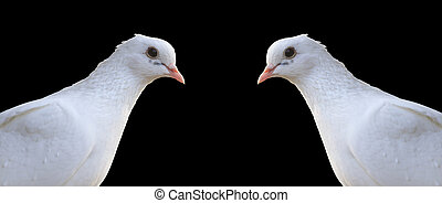 Two white homing pigeons portrait isolated on black