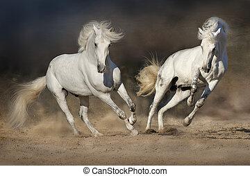 Two white horse