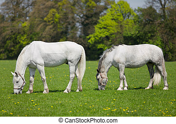 Two white horses  eating fresh grass on a field