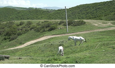 Two White horses eating grass in pasture