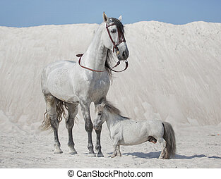 Two white horses on the desert