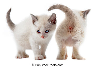 two white kitten in front of white background