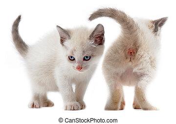 kitten - two white kitten in front of white background