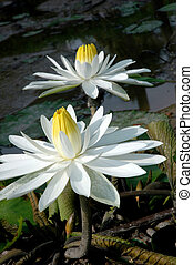 two white lotus in a pond