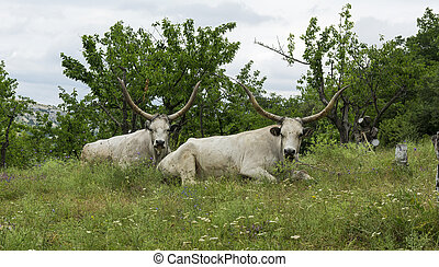 Two white oxen with long horns lie on a meadow under the trees.