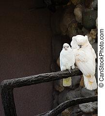 Two white parrots