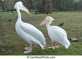 Two white pelicans in a park