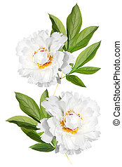 Two white peony on a branch - Branch with leaves and flowers...