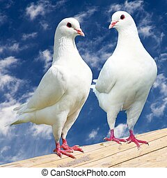 Two white pigeon - imperial-pigeon - ducula