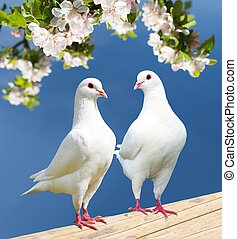 two white pigeon on flowering background - imperial pigeon...