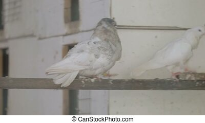 Two white pigeons run on a pole.