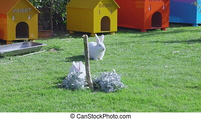 Two white rabbits eat grass - Two white rabbits sit on a...