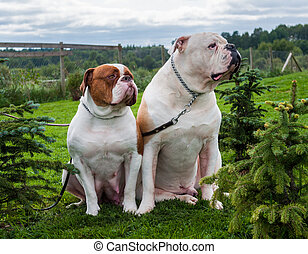 Two white red American Bulldogs in the yard of the house.