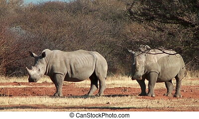 Two white rhinoceros in namibia - Two white rhinoceros,also...