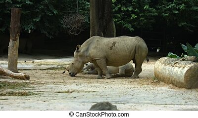 Pair of mature, white rhinoceroses, one standing and one reclining, in their habitat enclosure at a popular, public zoo. Footage UHD