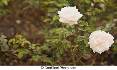 Two white roses of a gentle shade fluctuate in the wind.