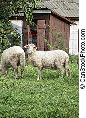 two white sheep on meadow in a farm