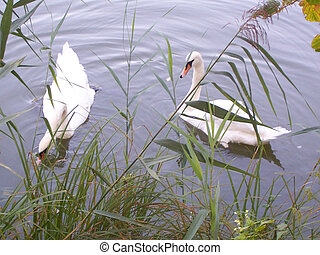 Two white swans at the lake