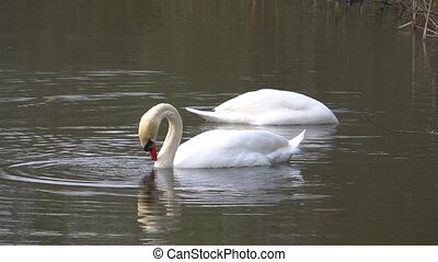 two white swans dip their heads into the water to look for food