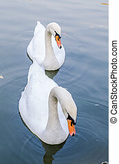 Two white swans in a pond together. Closeup
