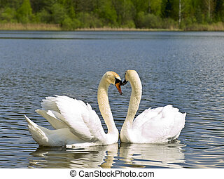 Two white swans in love emotions at the lake