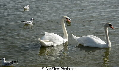 two white swans in the sea