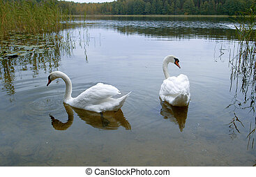 Two white swans on a lake , isolated