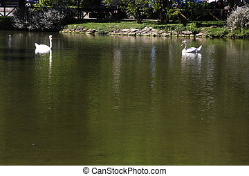 two white swans on a tranquil pond