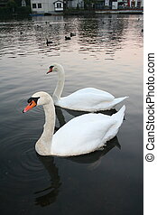Two white swans on the pond.
