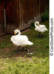 Two white swans stand in the grass